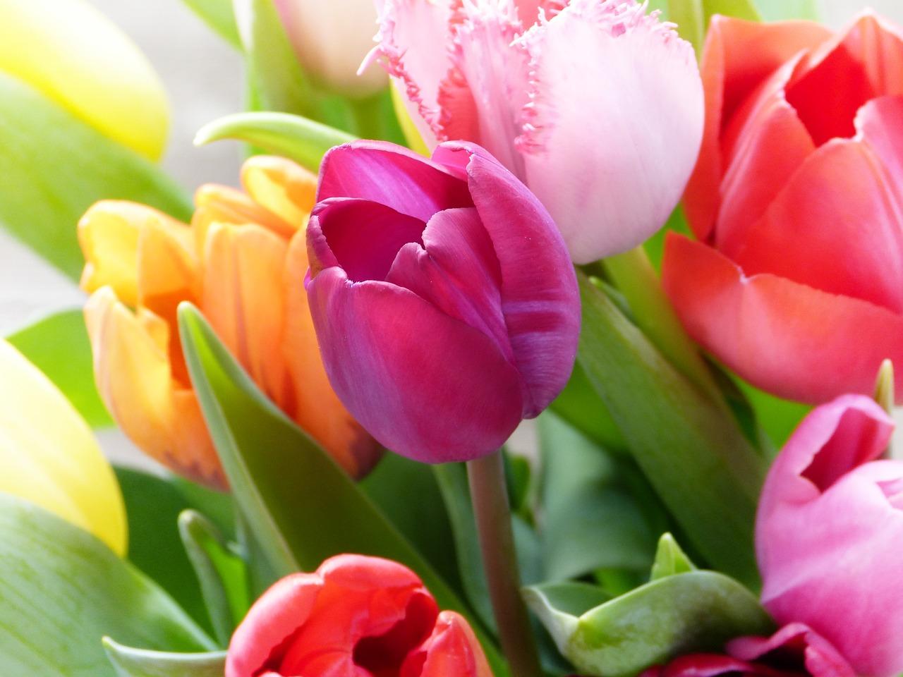 tulips-4039972_1280